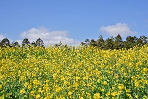 千葉県の菜の花