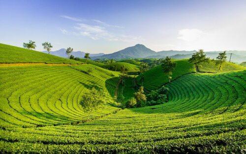 茶葉 栽培
